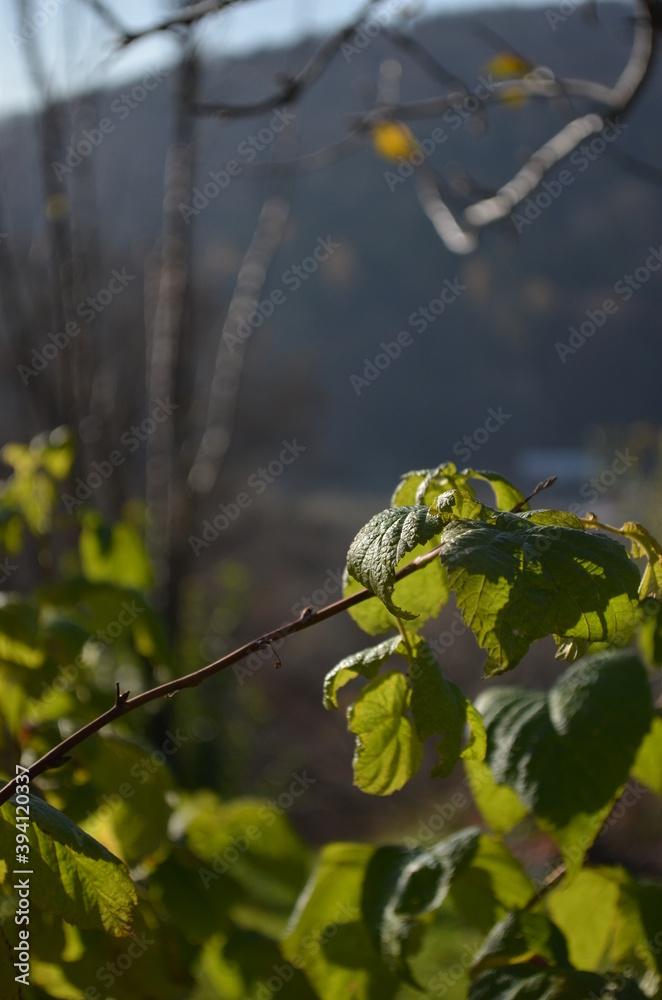 Fototapeta autumn leaves on a tree