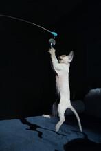 Devon Rex Kitten At Play