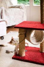Kitten Intent On Destroying Hi...