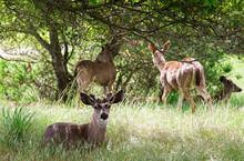 Deer Resting In The Meadow