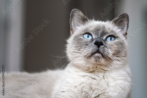 Photo Older gray cat with piercing blue eyes, closeup detail