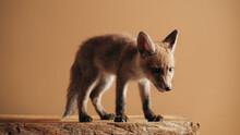 Little Fox Indoor Portrait