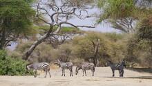 Kleine Zebraherde Unter Akazienbäumen