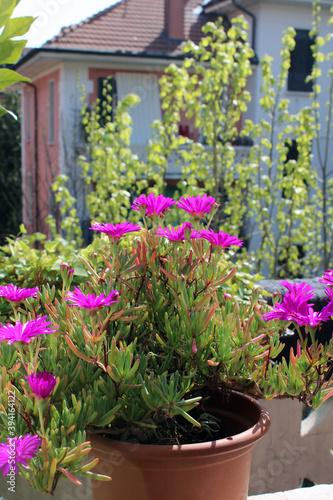 Drosanthemum hispidum e barba digiove fiorito in vaso Canvas Print