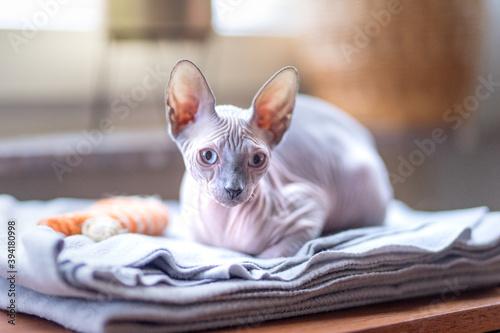 Chat sans poil de race Sphynx Fototapet