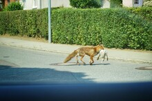 Full Length Of A Fox With Goos...
