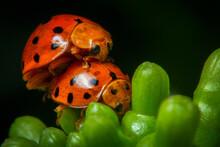 Orange And Black Color Ladybug...