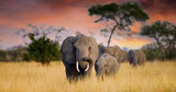 Fototapeta Sawanna - A herd of wild elephants walk through the savanna of Tarangire National Park in Tanzania, East Africa