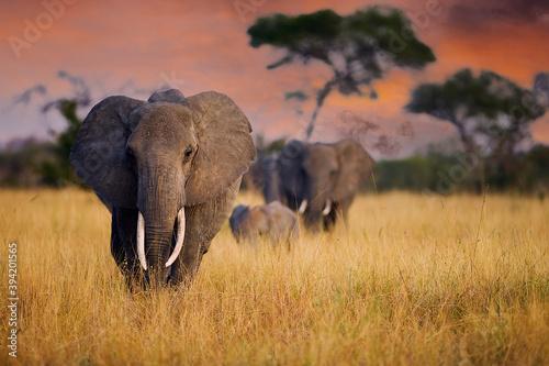 Obraz A herd of wild elephants walk through tall grass in Tarangire National Park, Tanzania, East Africa - fototapety do salonu
