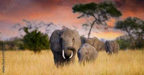 A herd of wild elephants walk through the savanna of Tarangire National Park in Wallpaper Mural