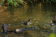A Water Chiken Looks For Food In The Water Of A Fast-flowing River.