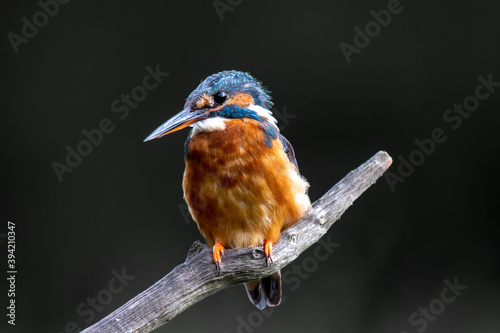 Kingfisher (Alcedo atthis) perched on a branch above a pool Canvas Print