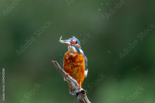 Photo Kingfisher (Alcedo atthis) perched on a branch above a pool