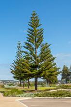Norfolk Island Pine (Araucaria Heterophylla) In The Town Of Esperance In Western Australia