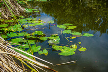 A Small Pond Near Our Hotel With Lily Pads, Cattails, And Beautiful Reflections.