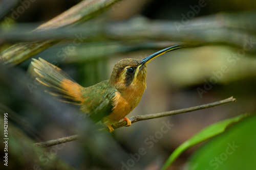 Obraz premium Stripe-throated hermit (Phaethornis striigularis) species of hummingbird from Central America and South America, fairly common small bird nesting in the nest built on the edge of the palm leaf