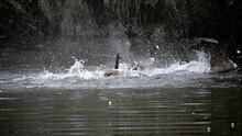 Geese Splashing Water In Lake