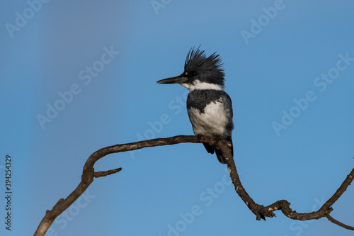 Carta da parati Male Belted Kingfisher clings to perch on deadwood branch with long and pointed beak facing left