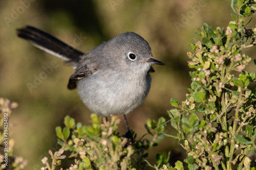 Stampa su Tela Adorable small Bluegray gnatcatcher bird clings to vegetation perch with beak pointing to the right