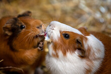 Portrait Of Pair Domestic Guinea Pigs (Cavia Porcellus) Cavies On The Straw
