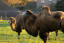 Pair Of Bactrian Camels In A G...
