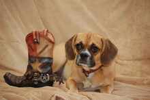 Dog Resting By Cowboy Boot On Fabric