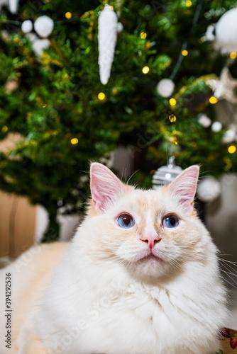Portrait of light ginger white ragdoll tomcat by the Christmas tree Wallpaper Mural
