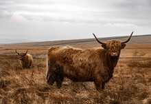 Gazing Highland Cattle Herd - UK, Yorkshire Dales