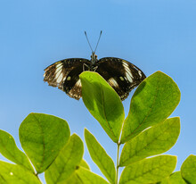 Black White Tropical Butterfly On A Leaf From Below