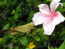 Grasshopper And Pink Hibiscus ...