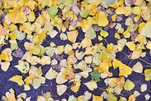 Fallen Autumn Poplar Leaves Li...