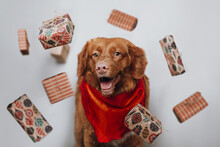 Happy Brown Nova Scotia Duck Tolling Retriever With Red Scarf Stands Surrounded By Levitating Christmas Gifts. Merry Christmas Concept. Selective Focus On Puppy Eyes. White Background.