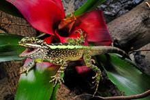 Japalura Tree Dragon In A Terrarium // Chinesische Bergagame Im Terrarium (Diploderma Splendidum, Japalura Splendida) -