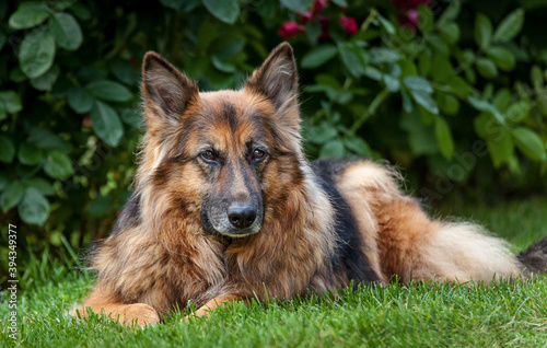 german shepherd dog Canvas
