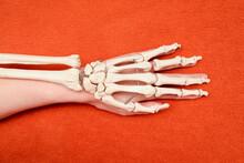Hand Bones On Top Of Human Hand On Orange Background, Dorsal Side View, Anatomy Example, Medicine Studies