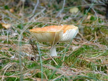 Mushroom Amanita Muscaria With Forest Background During Autumn In Maasduinen National Park, Netherlands