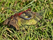 Two Dragonflies Are Mating, Si...