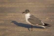 Laughing Gull, Leucophaeus Atricilla, On Sand
