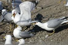 Ring Billed Gull, Larus Delawarensis, Squabble Over Nesting Area