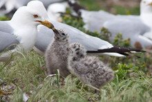 Ring Billed Gull, Larus Delawarensis, Two Chicks Being Fed