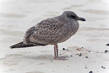 Western Gull, Larus Occidental...