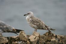Yellow-legged Gull, Larus Michahellis, Immature