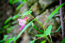 Parrot Flower (Balsaminaceae, Sci. Name Is Impatiens Psittacina Hk.f) At Doi Luang Chiang Dao, Chiang Dao Wildlife Sanctuary In Chiang Dao District Of Chiang Mai Province, Thailand.