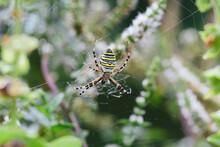 A Wasp Spider (Argiope Bruenni...
