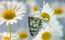 The Galatea Butterfly Hangs Up...