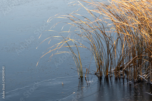 Fotomural The beginning of winter, the first ice on the pond bound the coastal sedge