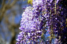 Blooming Wisteria Flowers With Branches Of The Plant In The Background