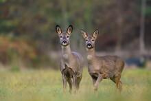 Wildlife Scene From Autumn Nature. Two Roe Deer Standing On Meadow. Deer In The Nature Habitat. Capreolus Capreolus.