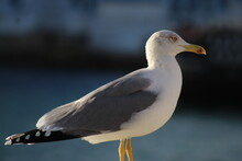 Beautiful Seagull By The Sea