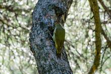 European Green Woodpecker On A...
